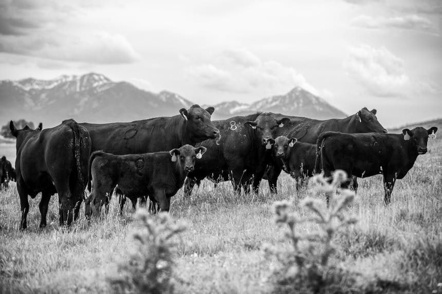 a black and white image of seven cows with ear tags standing in a field of grass with mountain far off in the distance