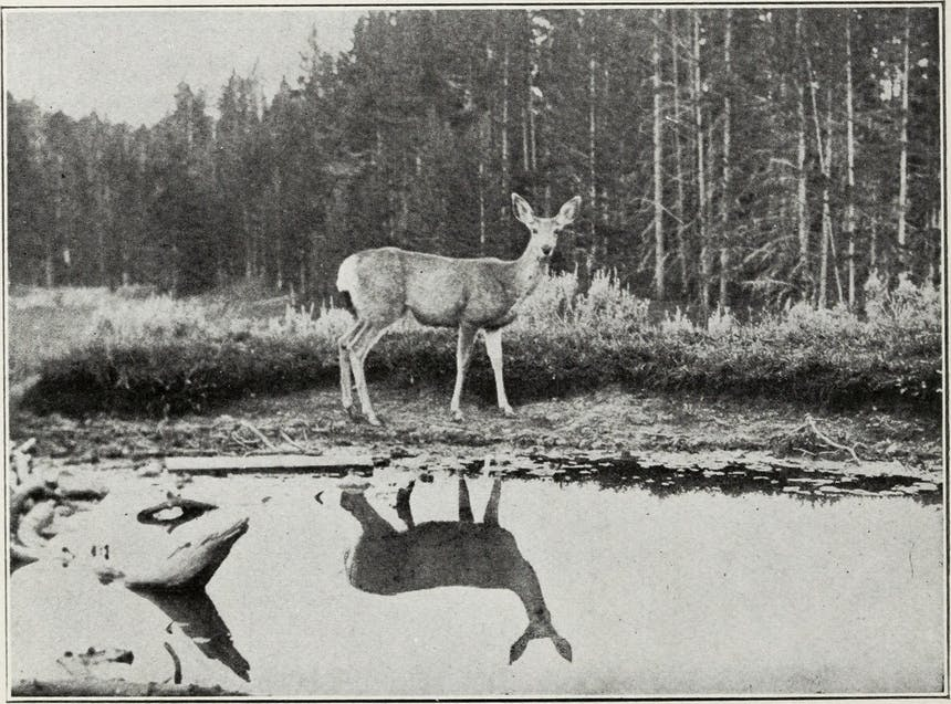 an old black and white image of a deer standing at the edge of a pond looking towards the photographer with its reflection in the water and a thickly wooded area treeline just behind the it