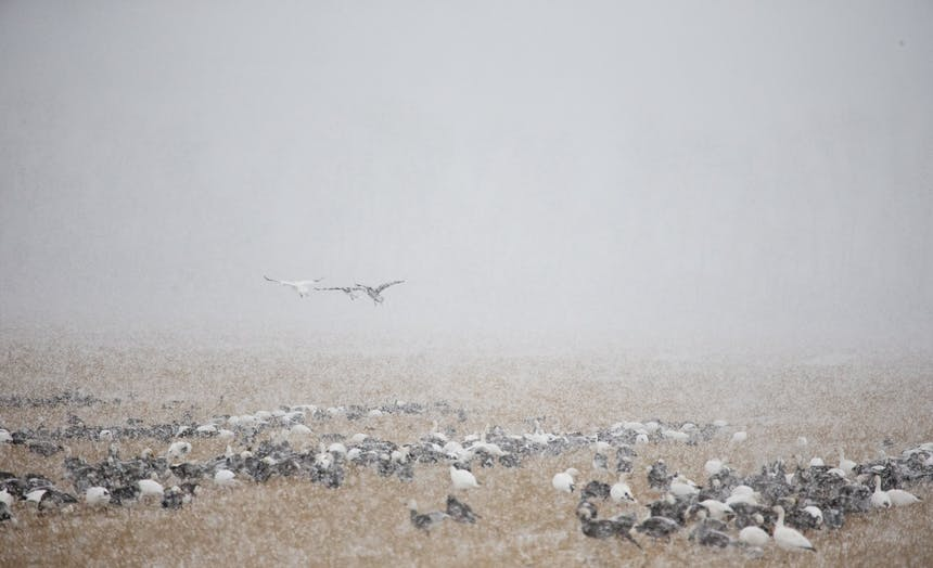 a cold and snowy landscape with low visibility, dozens of ducks huddled together in the brown grass, as three ducks fly out of visibility