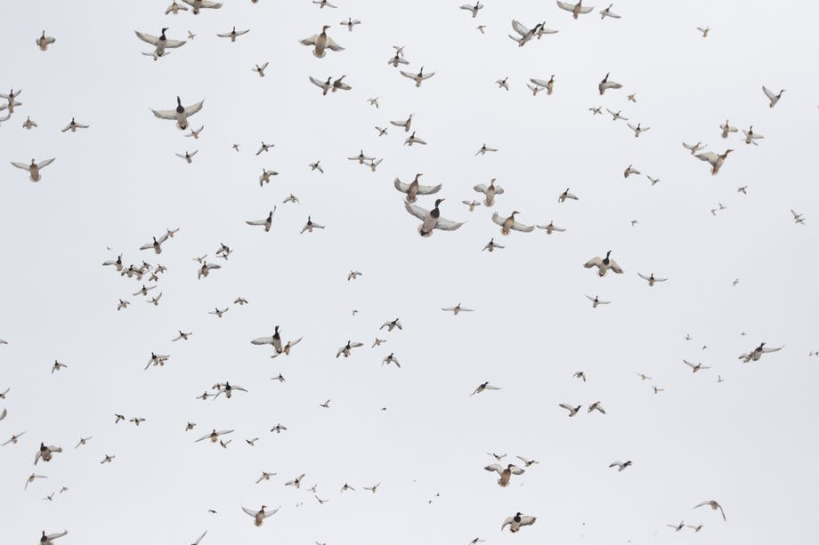 dozens of birds flying overhead on an overcast day
