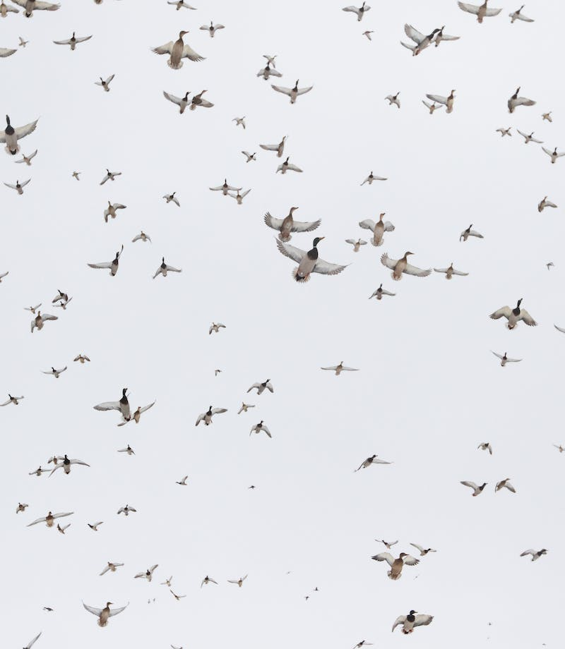 North America\'s Flyways and Ducks Unlimited | The Filson Journal