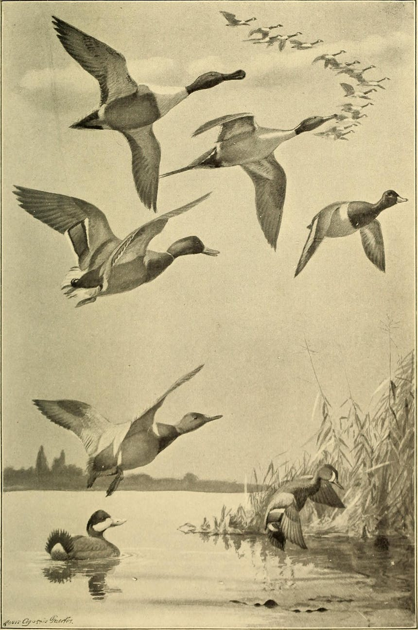 old black and tan image of seven ducks in the foreground and several geese overhead flying in a V shape pattern