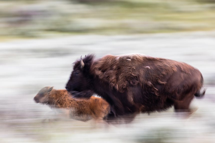 a blurry image of a dark brown coated mom and light brown coated baby bison running to the left side of the image