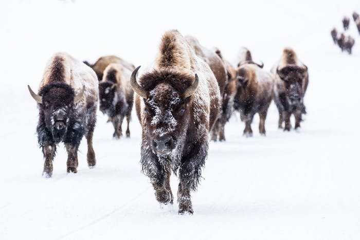 snowy white covered landscape with a dozen snowy bison walking towards you
