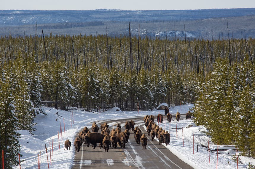 an aerial view of a dozen and a half bison walking down the road in Yellowstone National Park with trees for miles and a light dusting of snow