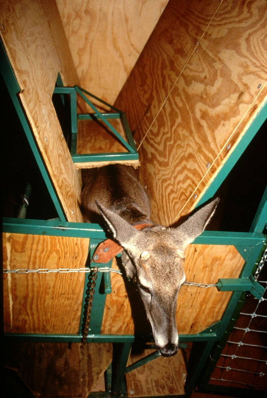 a young collared deer in a deer cradle made of wood planks that are inserted into a green medal frame
