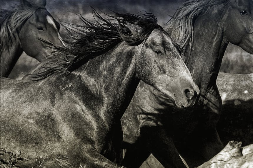 black and white close up image of three horse running towards the right