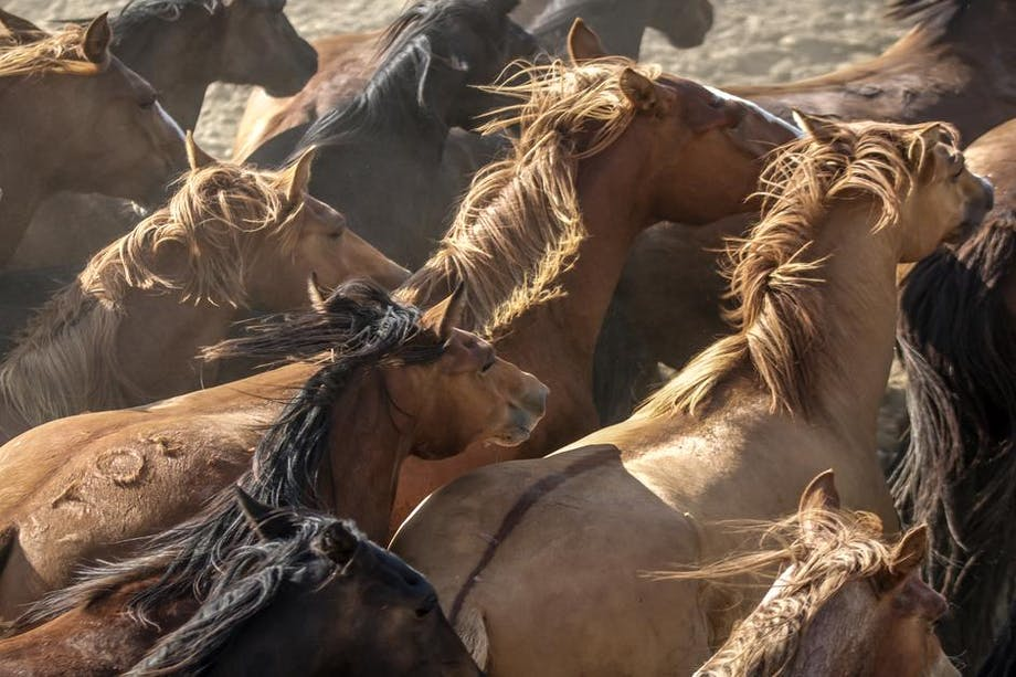close up image from the top down of over a dozen wild horses in varying hues of brown and black running towards something