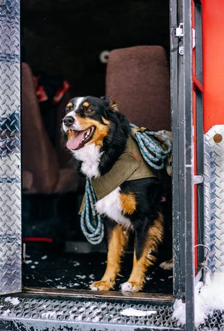 a happy black, brown and white dog wearing a pack with ropes handing off of it standing in the doorway of a red snowcat