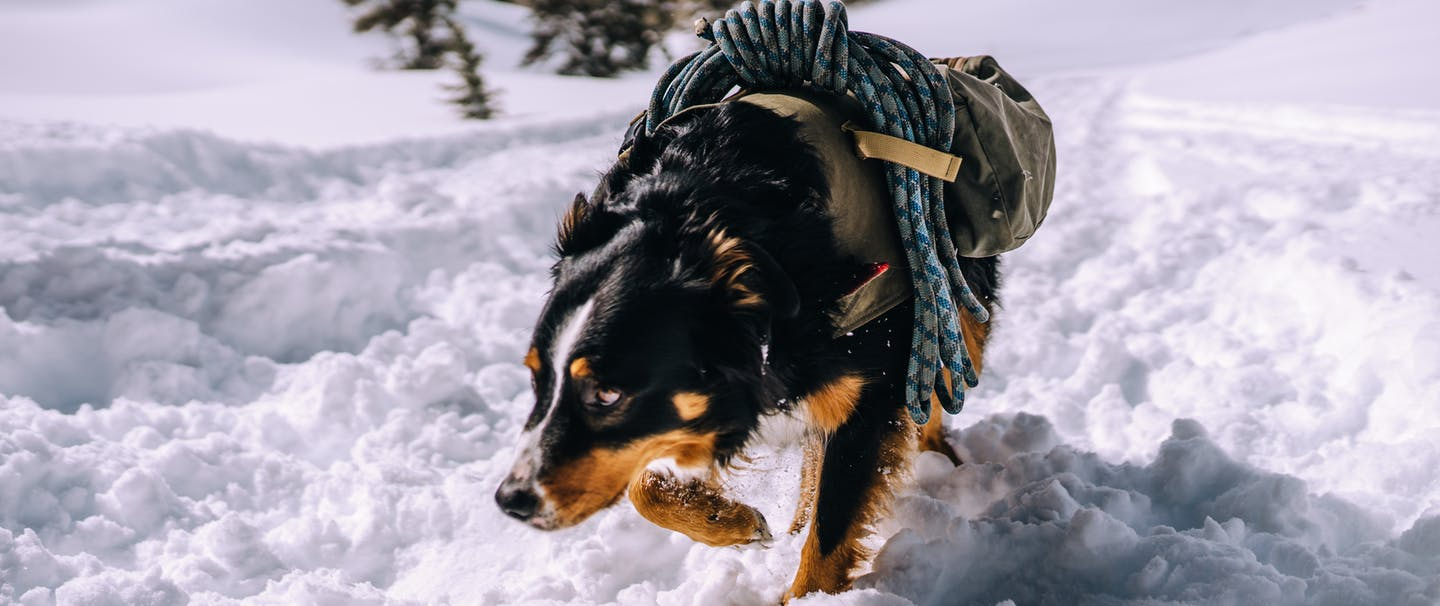 Leif a black, brown and white avalanche rescue dog wearing a dog jacket with blue rescue ropes connected to it as he lowers his face sniffing and walking forward on a snowy landscape