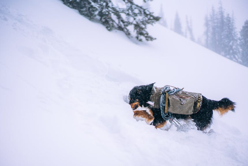 Leif a black, brown and white avalanche rescue dog wearing a dog jacket with blue rescue ropes connected to it as he digs into a snowy hill attempting to rescue someone