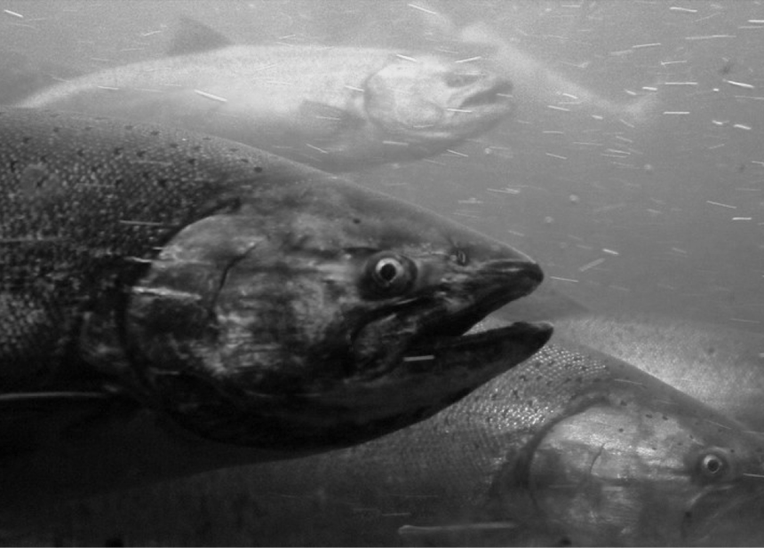 a black and white image underwater close up of five salmon, one close to the camera, with the others layered behind
