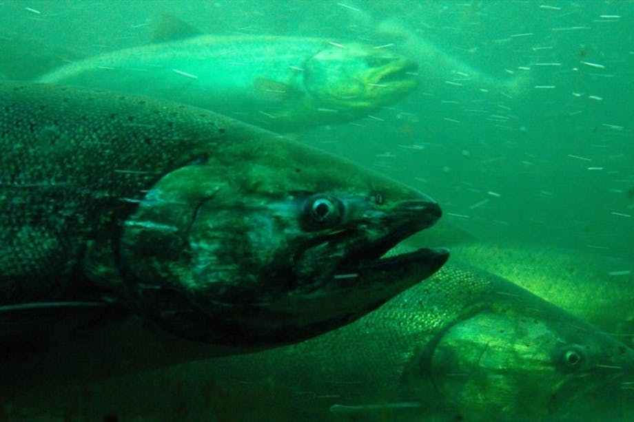 a green colored image underwater close up of five salmon, one close to the camera, with the others layered behind