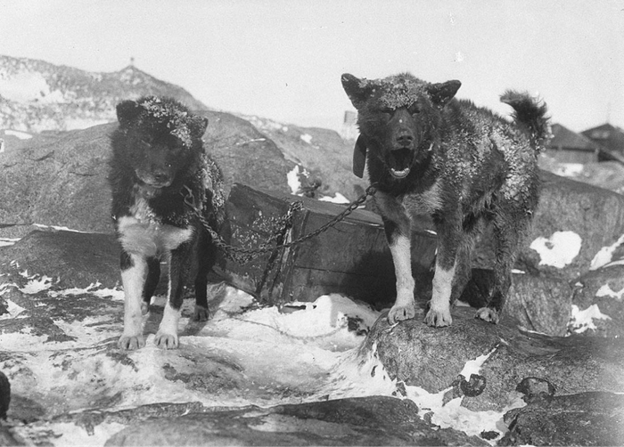 black and white image of two chained working dogs with snowy coats standing on rocky ground