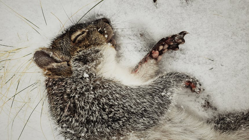 close-up image of dead squirrel in snow