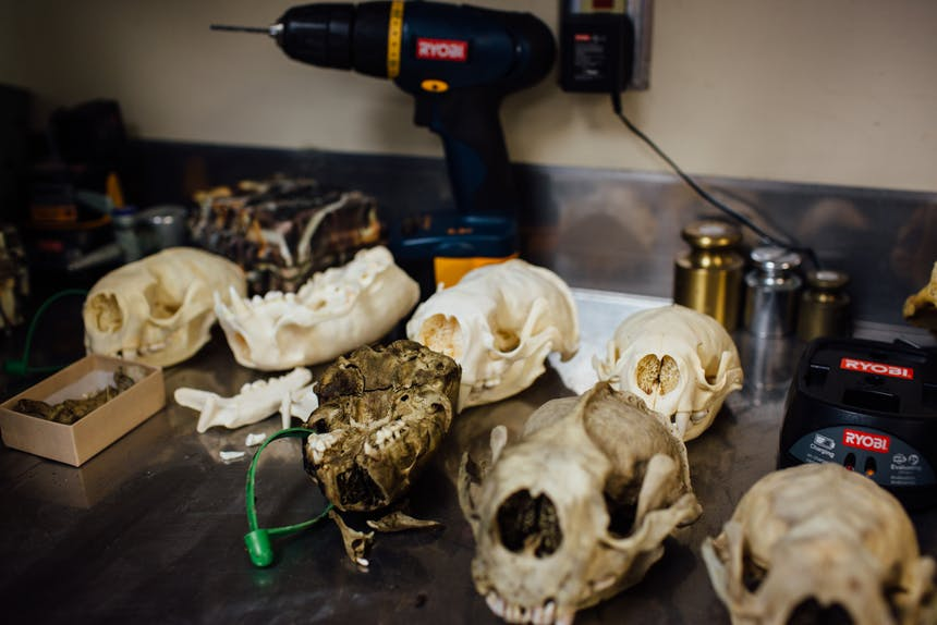 a collection of skulls and jawbones of a carnivorous animal laid out on a worktable with a ryobi drill and some calibration weights at the back of the table
