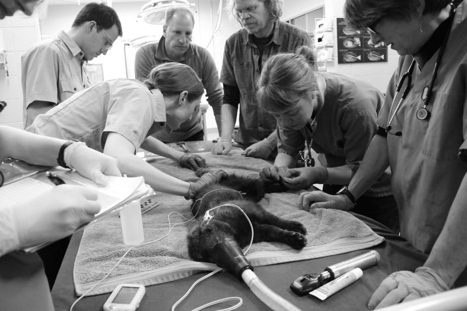 team of vets and forestry service personnel inspect an animal on a towel on top of a table with a breathing apparatus attached to its face