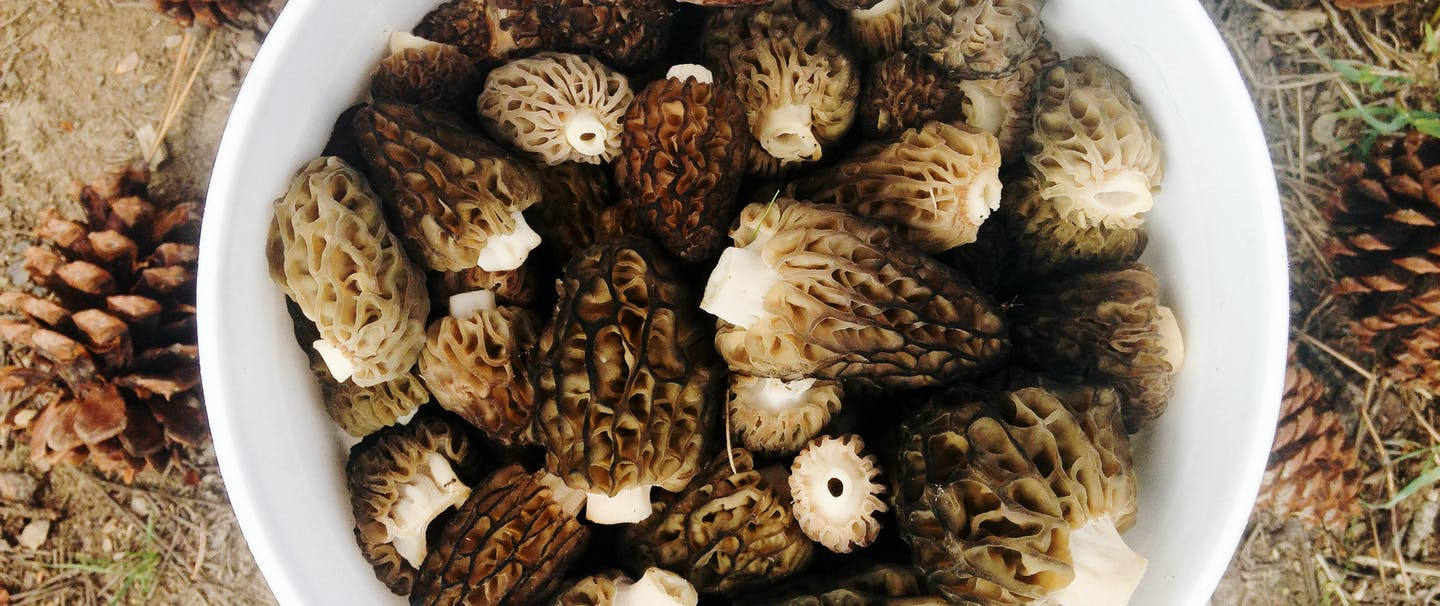 morel mushrooms in a white bucket next to pinecones on the ground