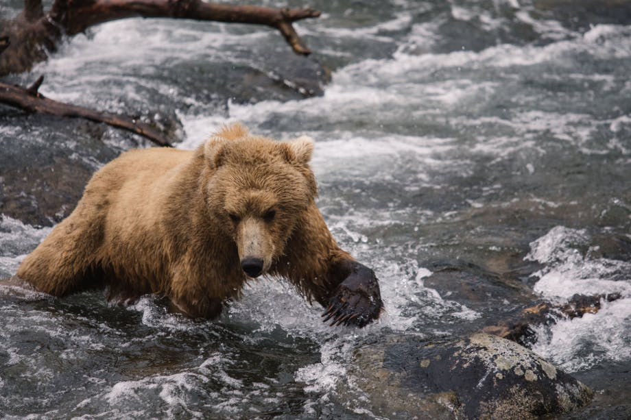 grizzly bear reintroduction 1