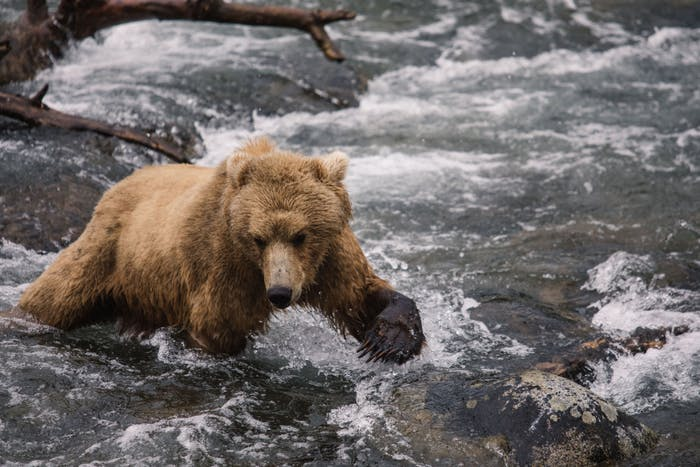 grizzly bear in river trying to catch fish in running water