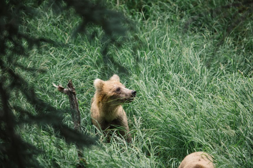 grizzly bear cub sitting in lush green grass in forest