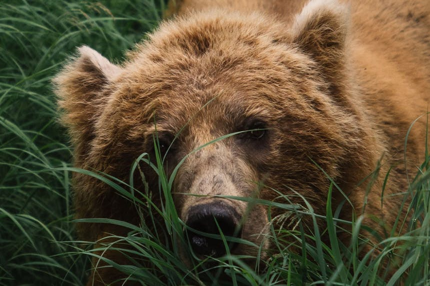 fuzzy grizzly bear in green grass