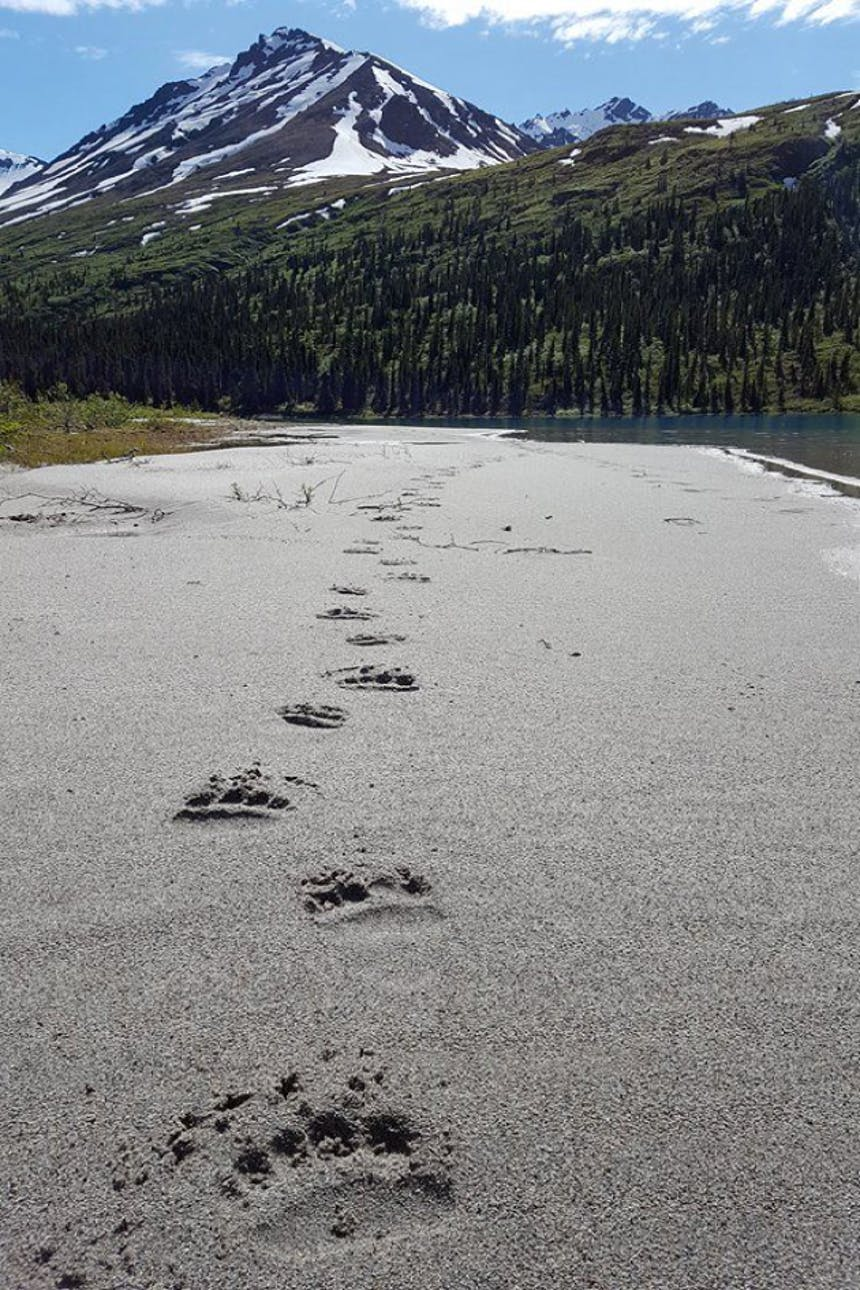 grizzly bear tracks on sand lead away from foreground toward alpine lake with snow-capped mountain in background