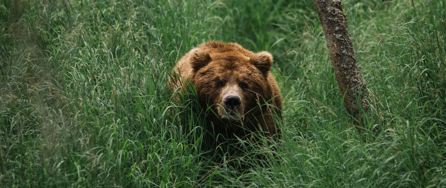 fuzzy grizzly bear walking through lush green grass in meadow