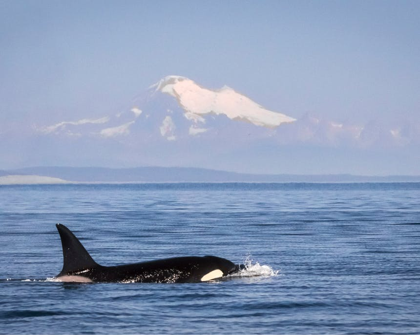 killer whale surfacing in foreground of a large mountain capped with snow