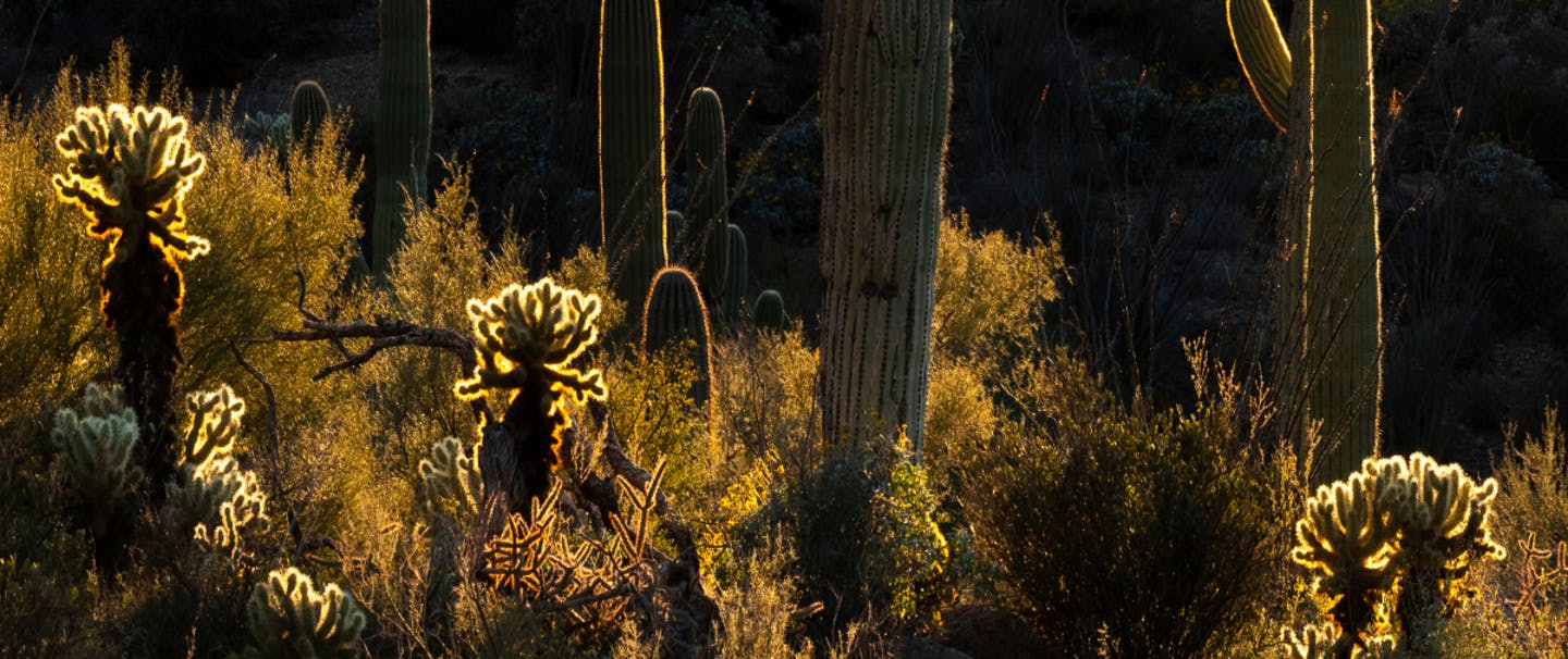 different types of cactus rising out of low lying brush illuminated in silhouette by dying light