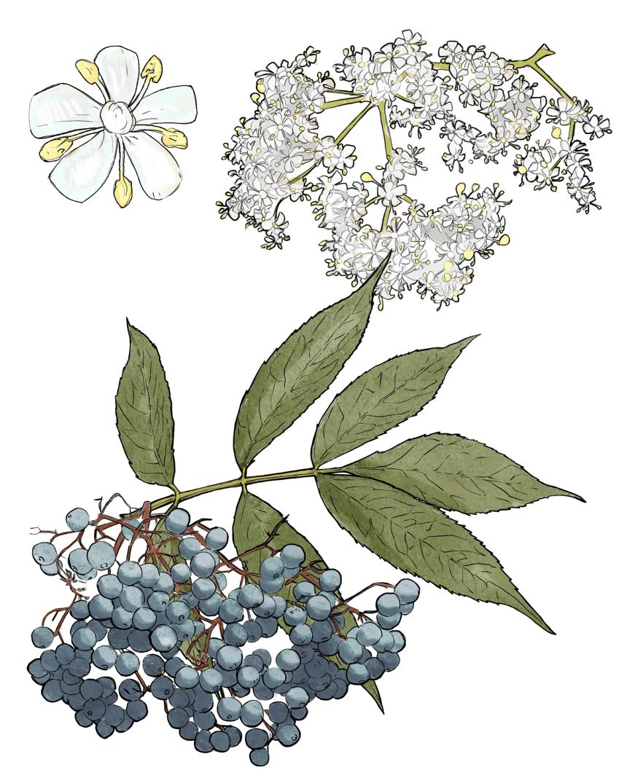 Top 5 Medicinal Plants of the Southwest_3_V2