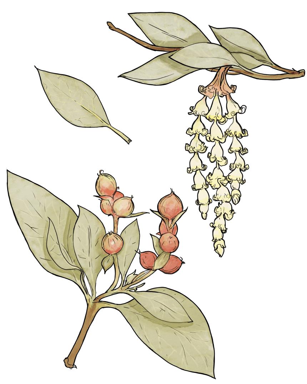 Top 5 Medicinal Plants of the Southwest_5_V2