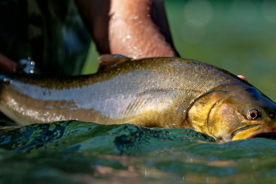 hands holding an olive green colored fish above the surface of the water