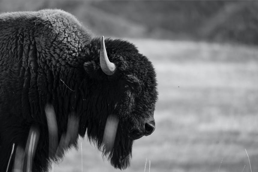 black and white picture of a fuzzy bison in profile standing in a grassy field