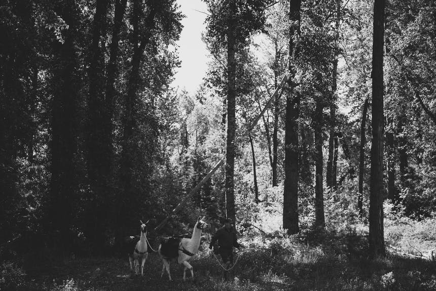 black and white image of a man leading two llamas through a pine forest