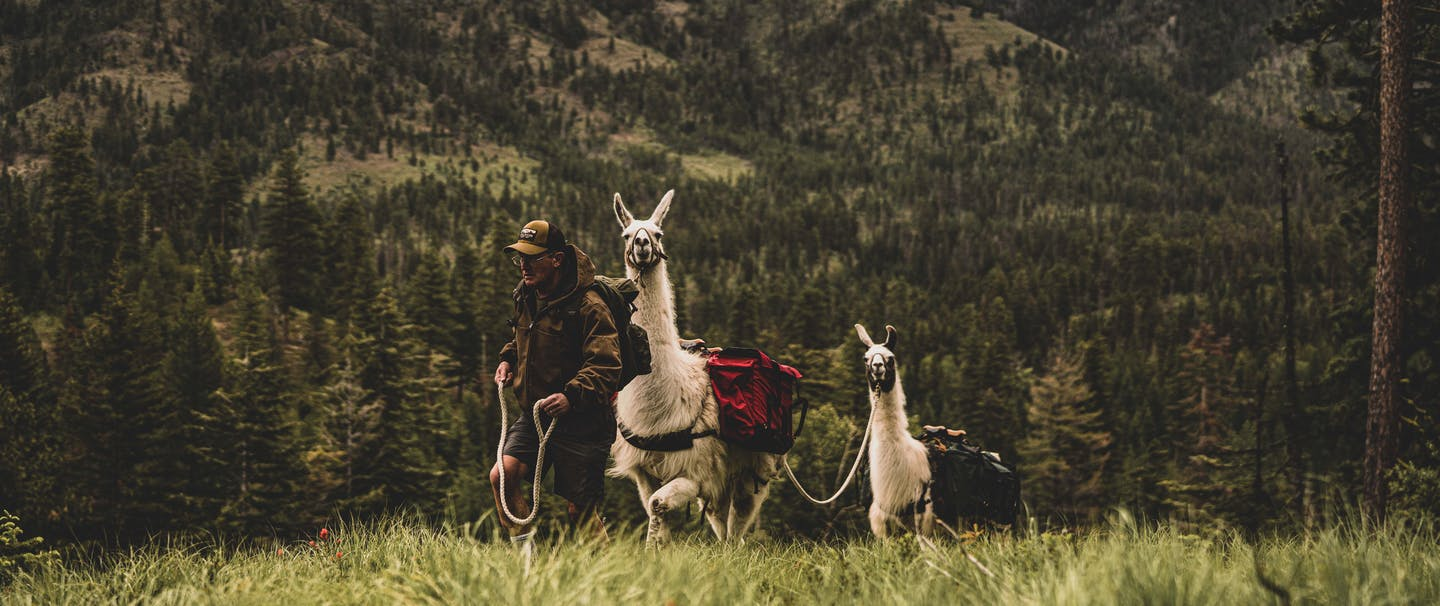 man leading two llamas up a hill by rope in a pine tree forest