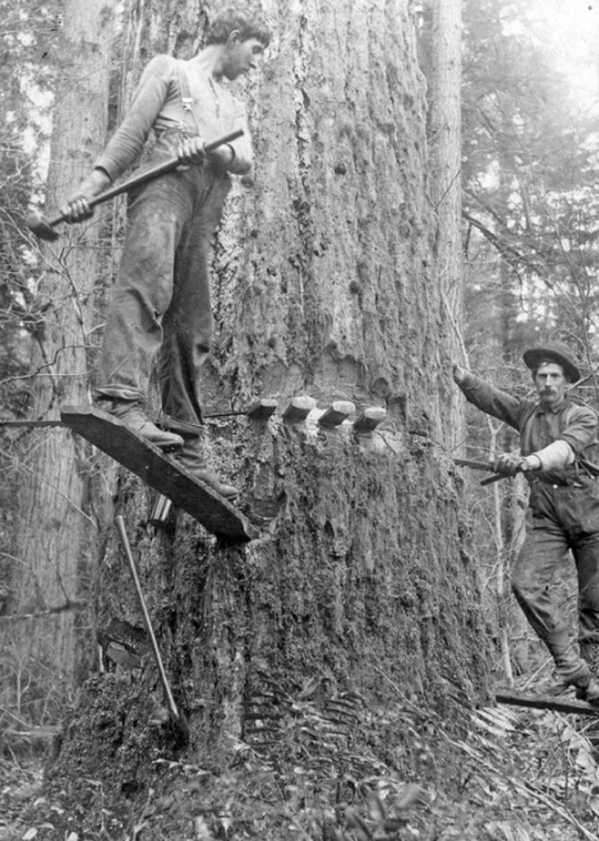 person standing on a plank driven into a tree trunk preparing to drive stakes into a fissure in the side of the trunk