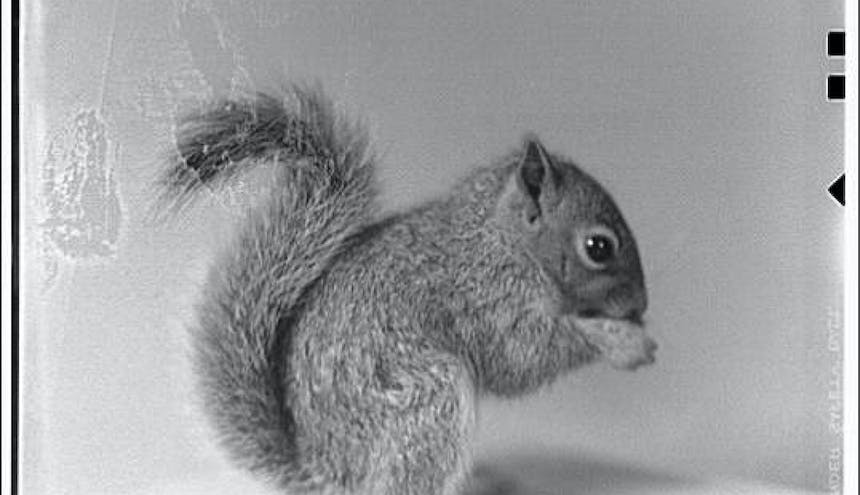 black and white image of a squirrel holding a nut