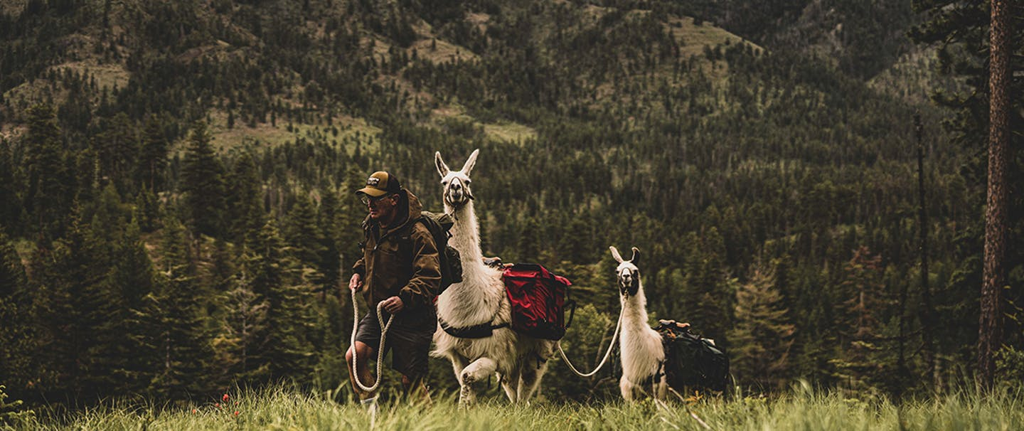 man leading two lamas up a hill by rope in a pine tree forest