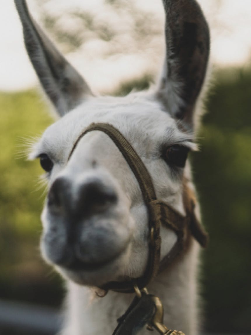 portrait of a llama with a bridle on