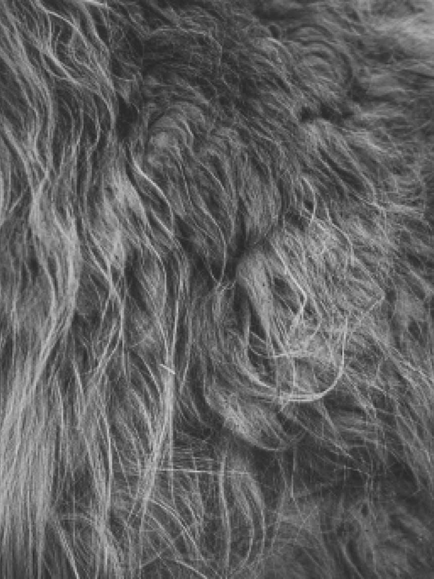 closeup of llama's fur