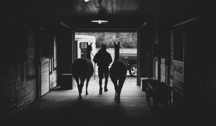 black and white image of a man leading two llamas out of a barn