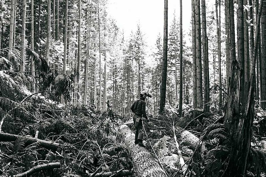 logger standing on a large downed log in the middle of a dense forest