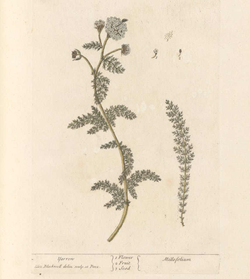 illustration of a yarrow stalk with flowers