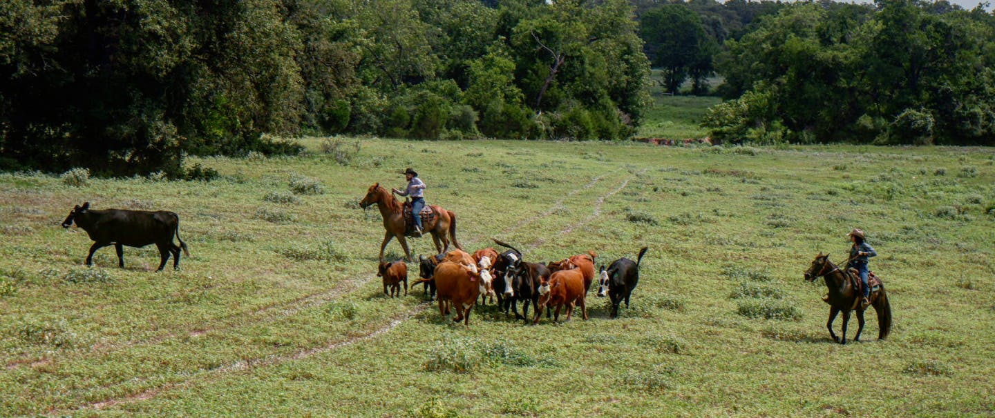 two people on horseback herding cattle in a wide open field