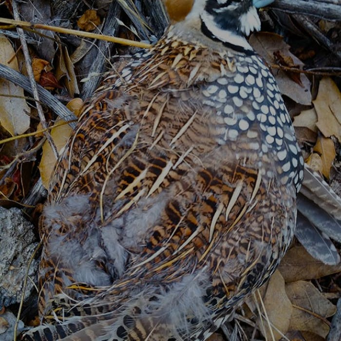 hgt-podcast-quail-feature