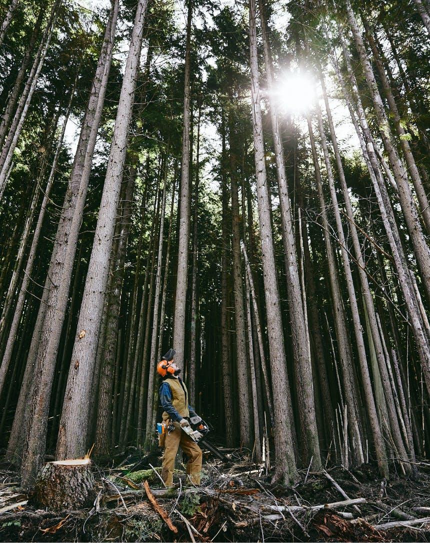 logger with orange helmet on holding a chainsaw looking up at tall pine trees whose branches have been cleaned