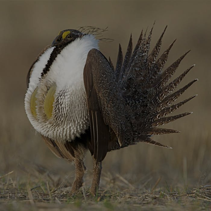 sage grouse with white breast feathers and impressive tail feathers