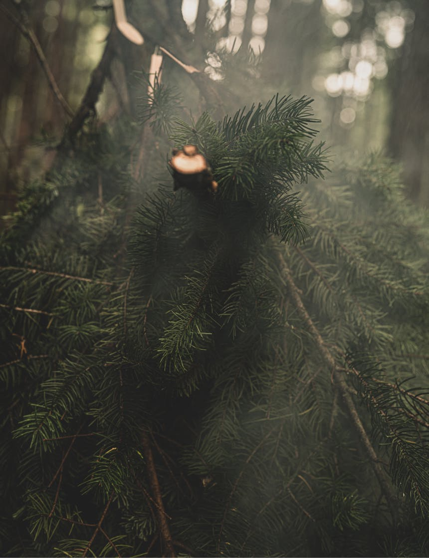 smoke escaping through a pine bough smoker setup