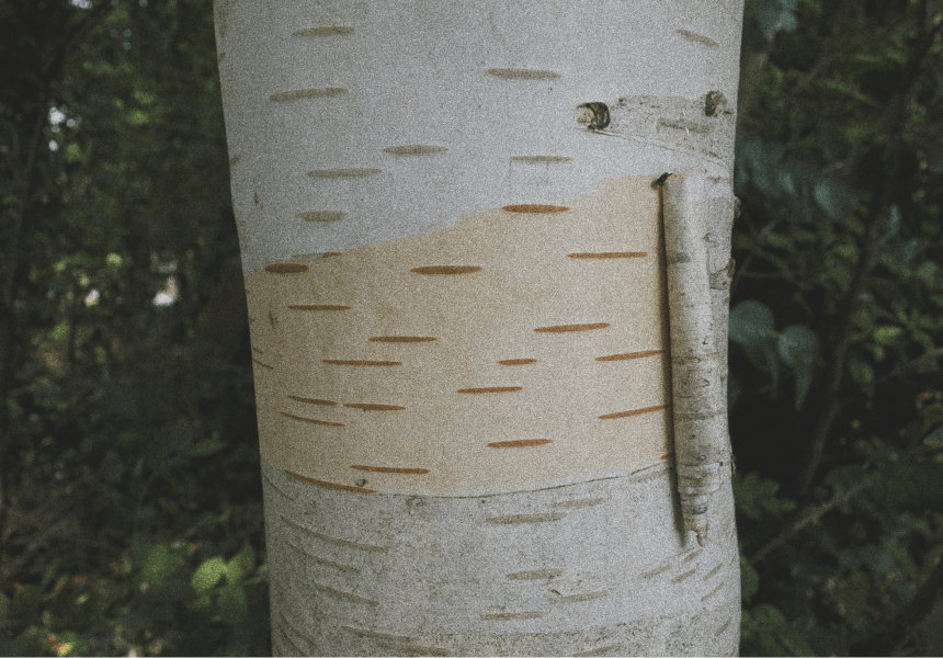 aspen bark being peeled away from the trunk in a spiral